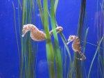 Akwarium, koniki morskie